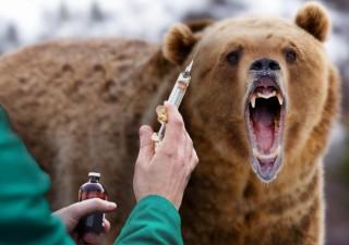Прививка от «медвежьего бешенства»